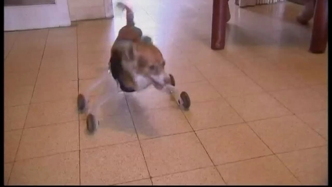 Amazing dog beats the odds to walk again!
