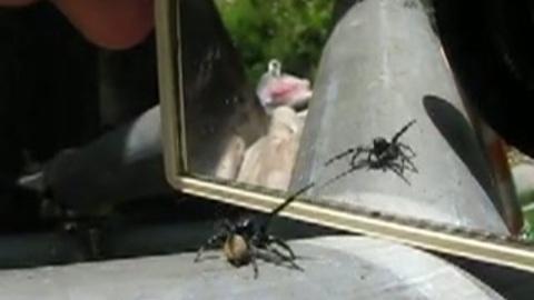 l'araignée et le  miroir