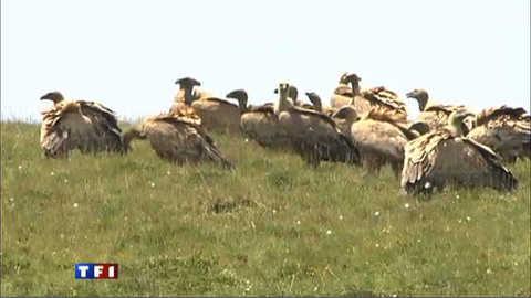 Attaques de vautours dans les Pyrénées