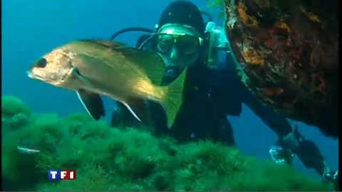 Les barracudas trouvent Port Cros à leur goût