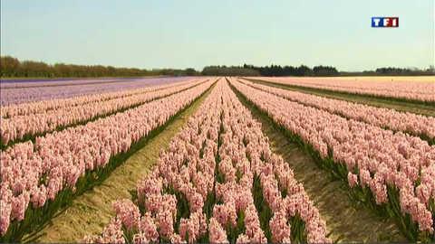 Les champs de jacinthes sont en fleurs