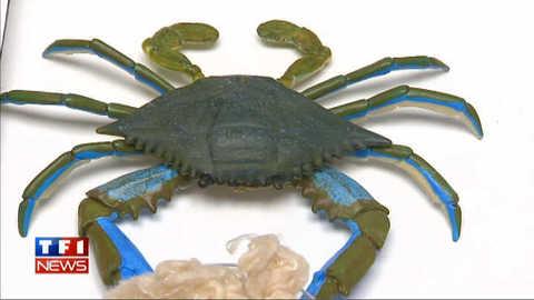 Des chaussettes en carapace de crabe
