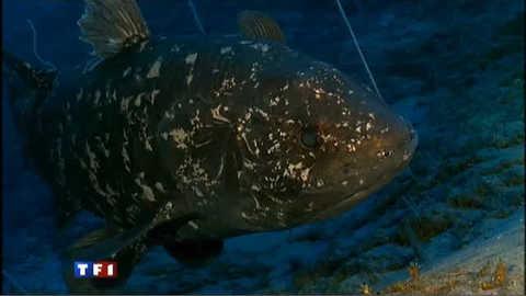 Le coelacanthe, l'un des plus vieux poissons du monde : les 1res images