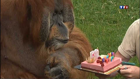 Un fraisier pour Major, l'orang-outan star de la reproduction