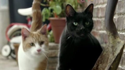 Genetically modified cats grow thumbs !