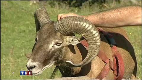 Georges et Bibi le mouflon, une histoire d'amitié