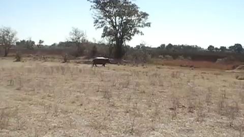 Un hippopotame s'attaque à des touristes