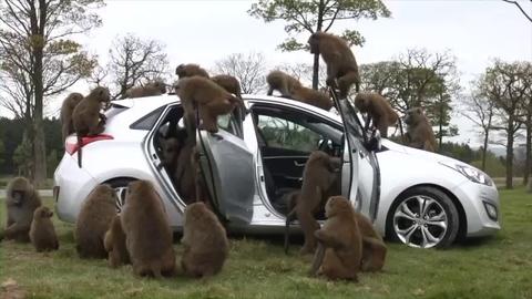 Insolite : la Hyundai i30 face aux babouins !