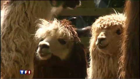 Les lamas des animaux de compagnie attachants