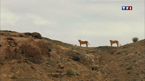 Les lions du désert