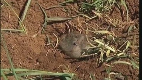 La lutte du Conseil Général contre le rat taupier (Clermont)