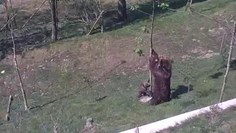 Maman ours aide son petit à descendre