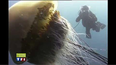 Des méduse géantes envahissent la mer du Japon