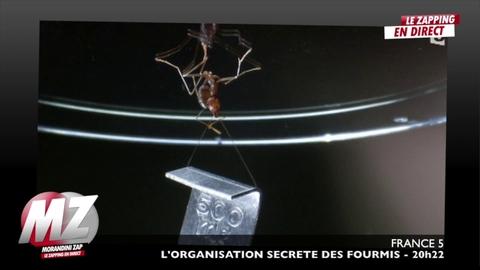 Morandini Zap: Une fourmi décroche... un nouveau record mondial !
