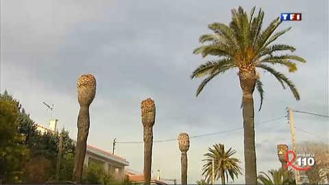 Les palmiers de la Côte d'azur menacés
