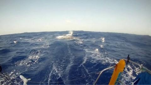 Quand un bateau en course percute une baleine!