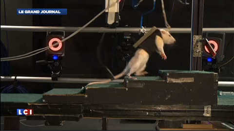 Des rats paralysés remarchent, un espoir pour l'homme