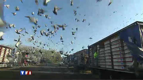La saison du pigeon prend son envol