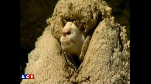 Shrek, le mouton velu est mort