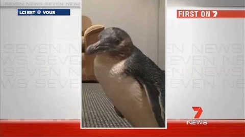 Trois copains éméchés volent un pingouin en Australie